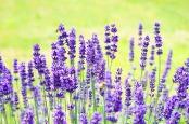lavender-1117274_640